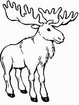 Moose Coloring Pages Canada Printable Printables Colouring Activity Canadian Animals Animal Outline Google sketch template