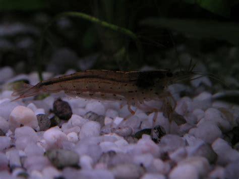 do shrimp shed top five aquarium shrimp