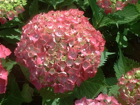 what is a hydrangea flower file pink hydrangea flower jpg