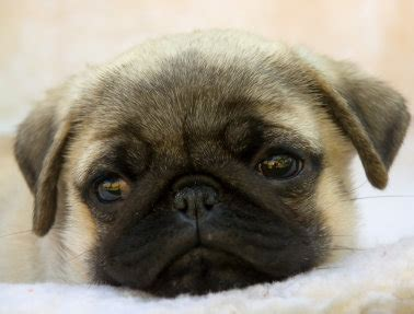 Pug Dogs And Their World