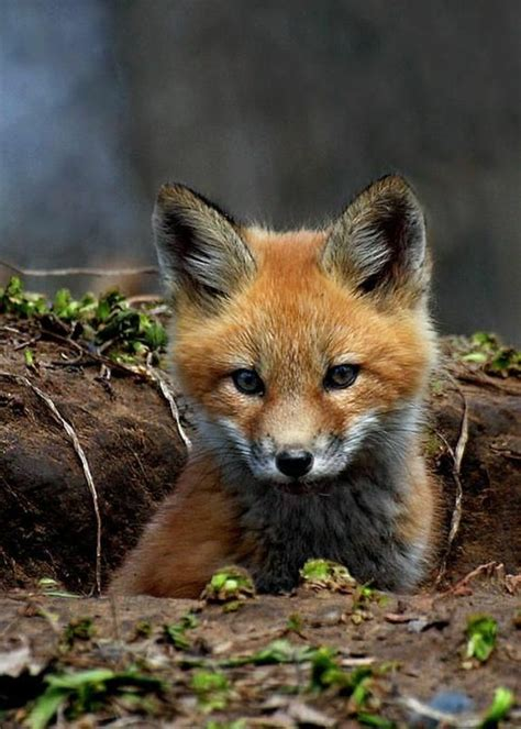 fox as pet fox as pets the fox is one of the unusual pets fresh design pedia