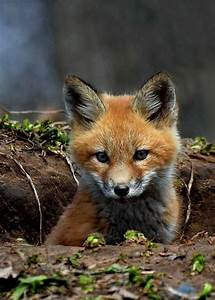 Fox As Pets? The Fox Is One Of The Unusual Pets? – Fresh ...