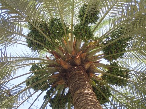 Thoughts from Baghdad: Date Palms