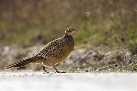 poule faisane photo et image animaux animaux sauvages