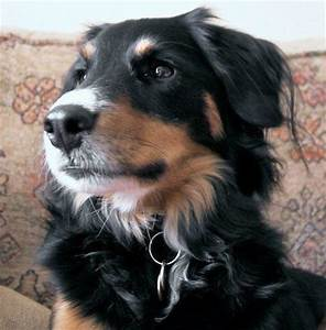 Border Collie Australian Shepherd Mix Puppies