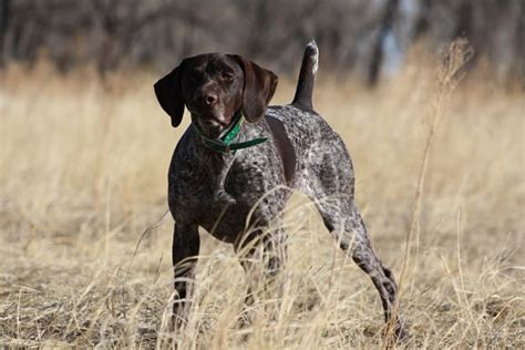 german shorthaired pointer shedding german shorthaired pointer dogs and puppies breeds