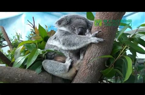 A Baby Koala Inside A Mothers Pouch At Taipei Zoo