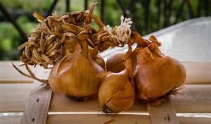 Repiquer Des Oignons : plantation des bulbes d 39 oignons partir de bulbilles allium cepa vente en ligne de semences ~ Voncanada.com Idées de Décoration