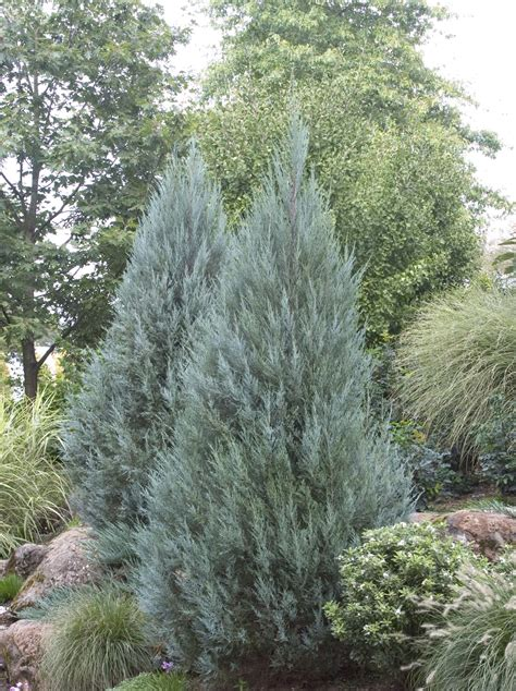 Yew Topiary Sale