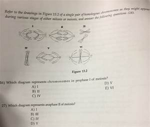 Which Diagram Represents Anaphase I Of Meiosis