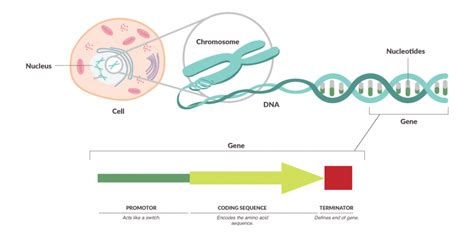 Genetic Diagram Gene Dna by Biosafety Genetic Material Dna Chromosomes Genes