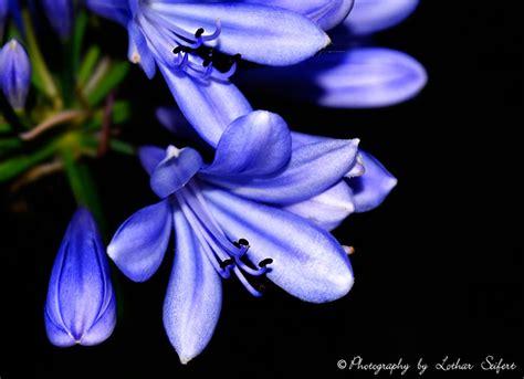 blaue blumen frühling blaue blume die schmucklilie hat blaue bl 252 ten und ist eine amaryllis kostenlose bilder blumen