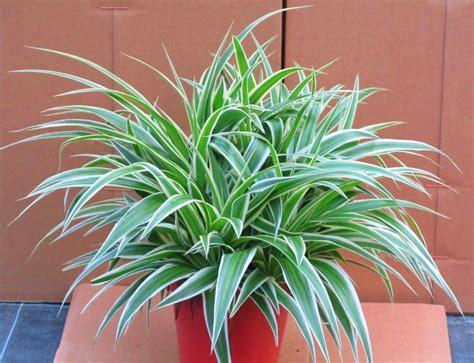 Zimmerpflanzen Portraet Gruenlilie by Chlorophytum Comosum Gr 252 Nlilie Luftreinigende