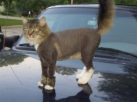 long hair cat haircuts funny kitties pinterest maine