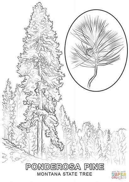 Coloring Montana Pages State Tree Symbols Printable