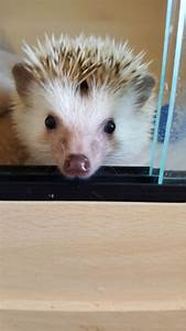 Baby african pygmy hedgehog | Norwich, Norfolk | Pets4Homes