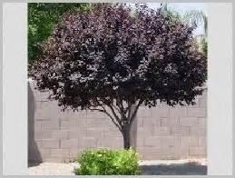 ornamental trees plum