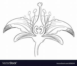 Tiger Lily Flower Outline Royalty Free Vector Image