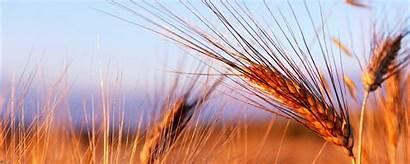 Barley Monitors Triticale Dual Rye Wallpapic