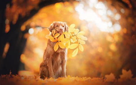 wallpaper golden retriever autumn leaves foliage