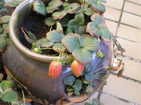 la culture du fraisier