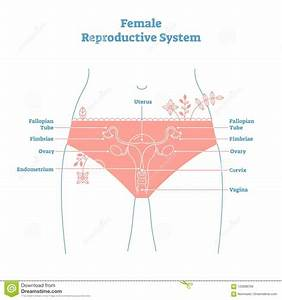 Artistic Style Female Reproductive System Vector