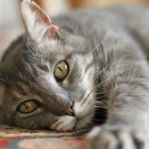 what is fiv in cats what is feline immunodeficiency fiv one of a