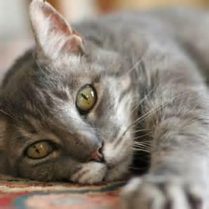 fiv in cats immunodeficiency feline feline t lymphotropic