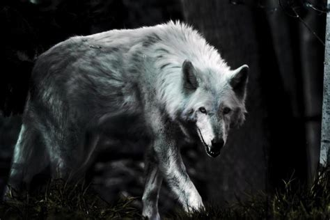 Angry Lone Wolf Wallpaper by Wolf Wallpaper Hd 183 Free Amazing Hd