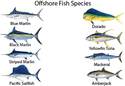 types  marlin fish pictures  pin  pinterest pinsdaddy