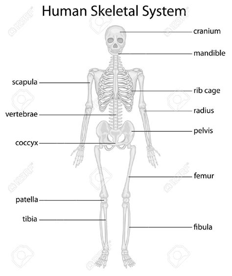Basic Bone Diagram by Skeleton Diagram Without Labels Skeletal System