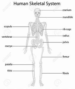 Skeletal System Diagram Without Labels