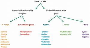 Create A Sentence Explaining How Amino Acids Form Proteins