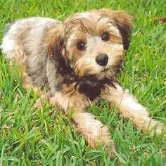 Do Shorkie Poos Shed by Yorkie Poo