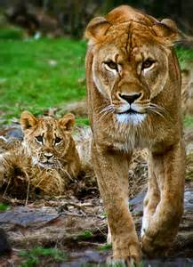 Us Trying to Intimidate Mother Lion