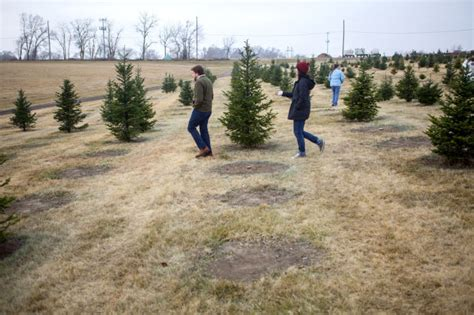 endangered tradition christmas tree farms dwindle local