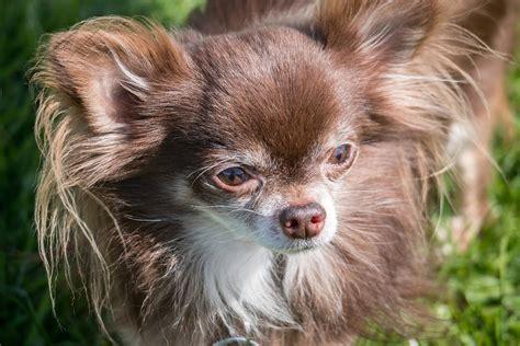photo gratuite chihuahua chien chiwawa image gratuite