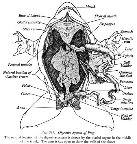 Internal Anatomy Of A Frogs Mouth Diagram