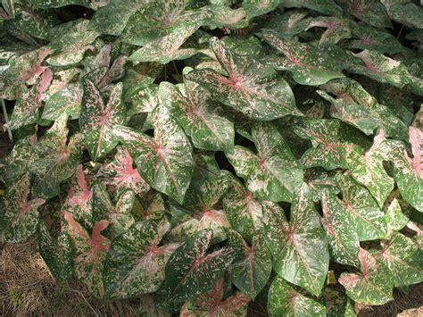 caladiums florida online plant guide caladium bicolor florida beauty florida beauty caladium