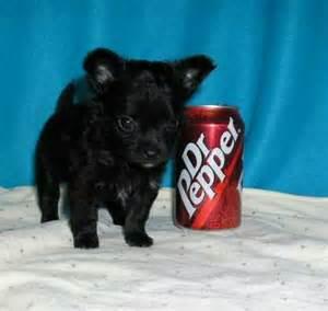 Teacup French Bulldog Black