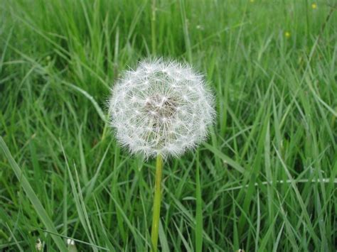 how to kill dandelions what kills weeds but not plants charmed garden