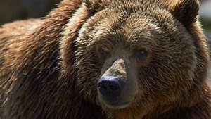 grizzly-bear-stock-image.jpg  Grizzly