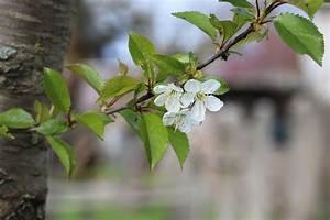 Baum Pflanzen Anleitung : anleitung kirschbaum schneiden wann ist der beste zeitpunkt ~ Frokenaadalensverden.com Haus und Dekorationen