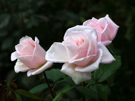 wur bloemen kwaliteitsplan roos wur