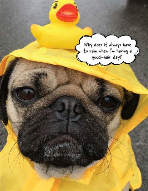 Doug Meme 6 Relatable Af Memes Of Doug The Pug