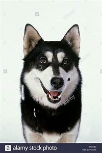 DEMON THE DOG SNOW DOGS; (2002 Stock Photo, Royalty Free ...