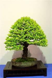 Bonsai Chinesische Ulme : japanische ulme ~ Sanjose-hotels-ca.com Haus und Dekorationen