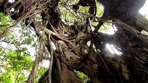 Planter Un Figuier : au centre d 39 un figuier trangleur inside a weeping fig ~ Melissatoandfro.com Idées de Décoration