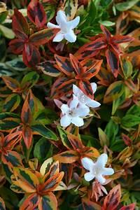 Abelia Grandiflora Kaleidoscope : 17 best images about drought tolerant dazzlers on ~ Melissatoandfro.com Idées de Décoration