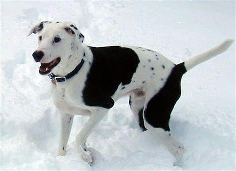 top  des  beaux  etonnants chiens croises dalmatien
